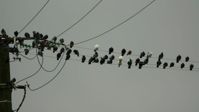 Pigeon biset domestique  - Jean-Bernard Reineau