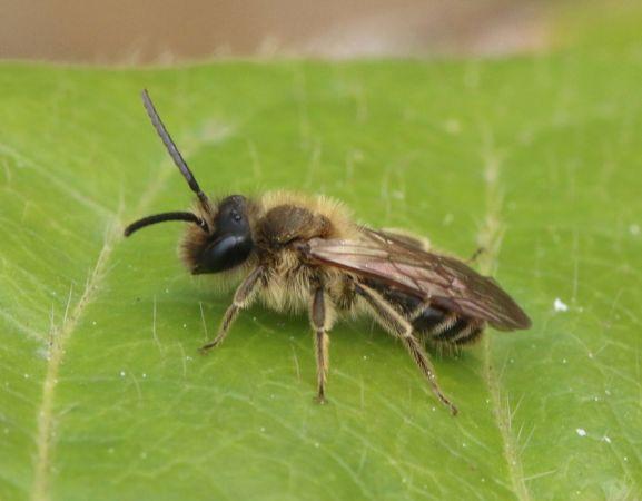 Andrena (Zonandrena) flavipes  - Thiery Louvel