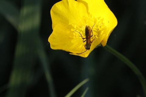 Sphecidae sp.  - Philippe Colin