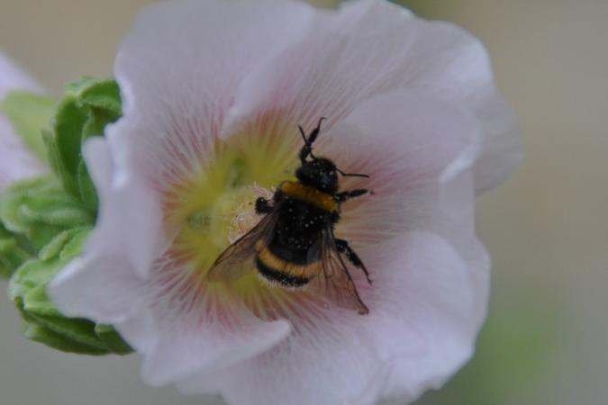 Bombus gr. lapidarius spp.  - Guy Destré