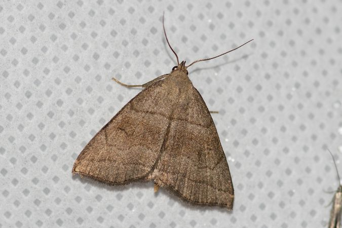 Herminia tarsicrinalis  - Didier Perrocheau