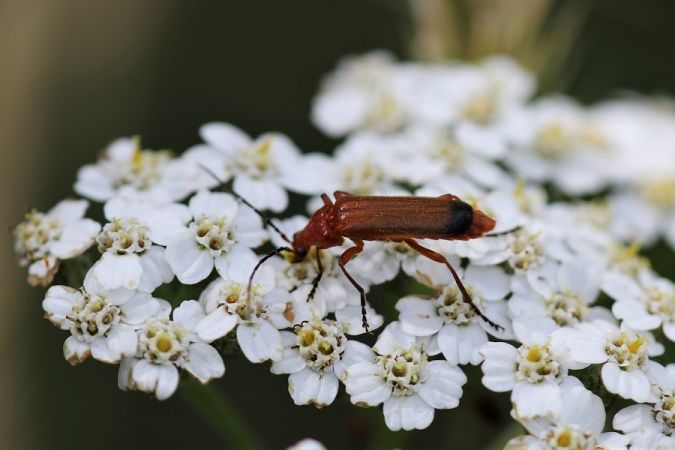 Common Red Soldier Beetle  - Claude Hardel