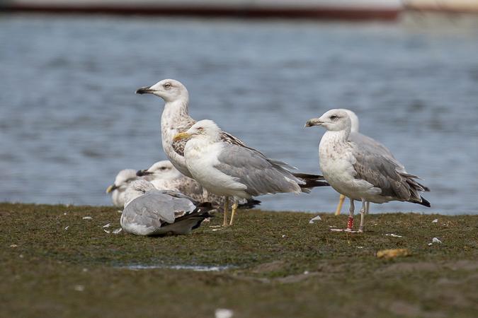 Cantabric Yellow-legged Gull  - Erwan Leneveu