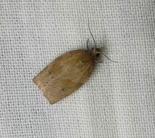 Cacoecimorpha pronubana  - Guilhem Lesaffre