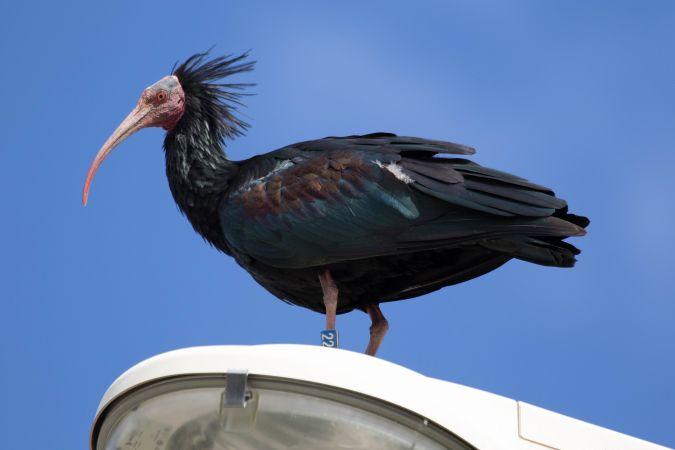 Ibis chauve  - Alexandre Crégu
