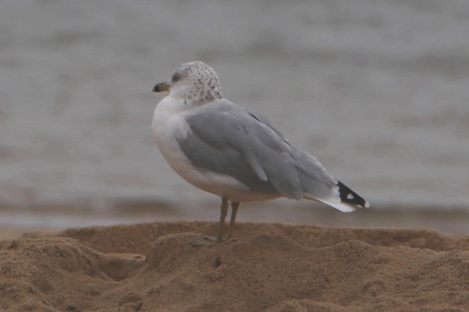 Ring-billed Gull  - André Spagnuolo