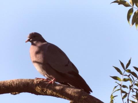Pigeon colombin  - Philippe Colin