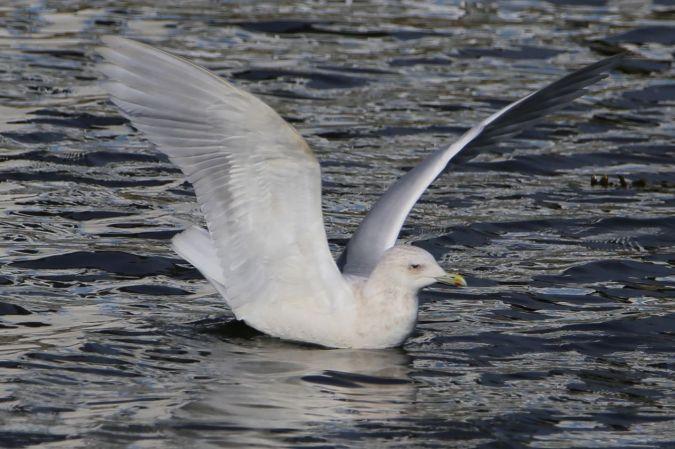 Goéland à ailes blanches  - André Spagnuolo