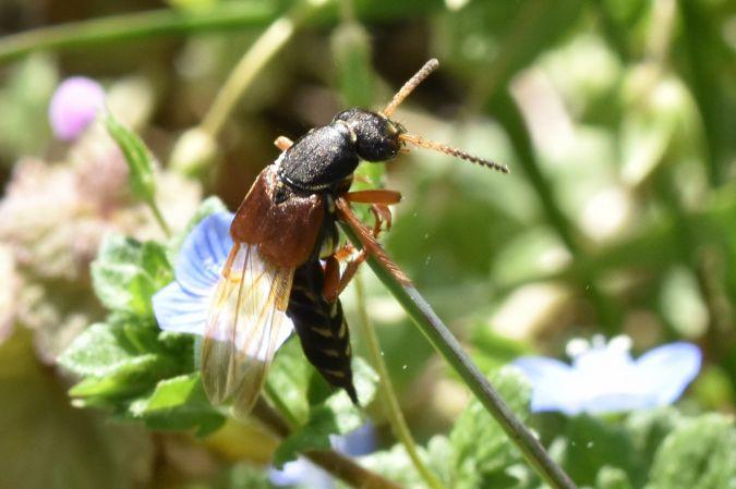Staphylinus dimidiaticornis  - Jean-Marie Frenoux
