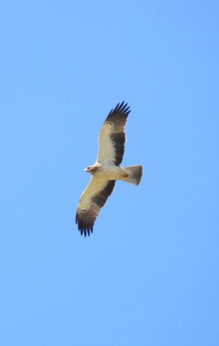 Aigle botté  - Arnaud Duez