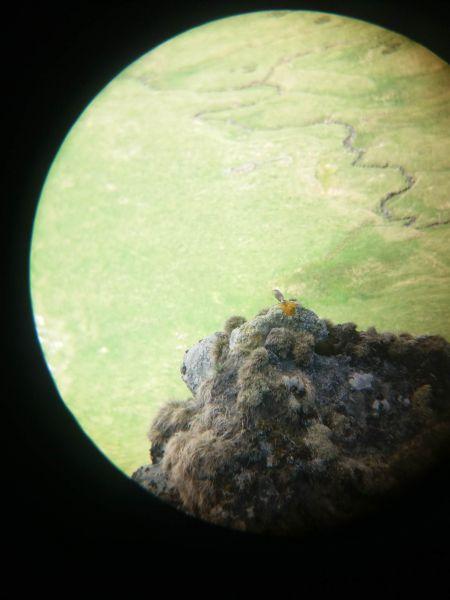 Monticole de roche  - Kevin Aupy