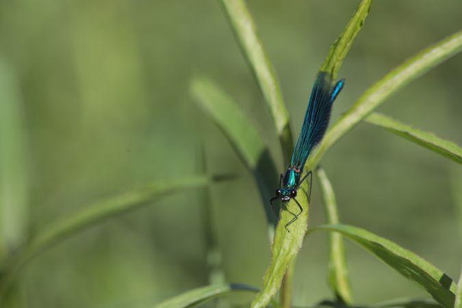 Caloptéryx éclatant (C.s.splendens)  - Joelle Galley