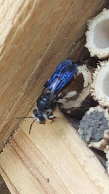 Andrena sp.  - Patrick Leblanc
