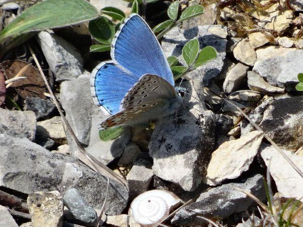 Argus (Azuré) bleu céleste  - Jean-Claude Bosquet