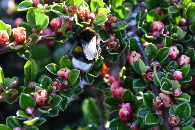 Bombus gr. terrestris spp.  - Catherine Delecourt