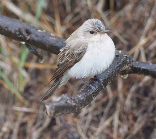 Gobemouche gris (M.s.tyrrhenica / balearica)  - Gaell Mainguy
