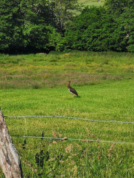 Cigogne noire  - Life Oxyura Ofb