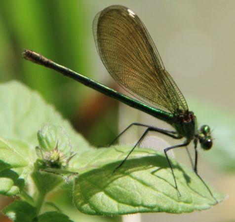 Caloptéryx éclatant (C.s.splendens)  - Fabien Layrol