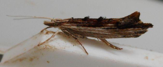 Ypsolopha scabrella  - Deborah Carr