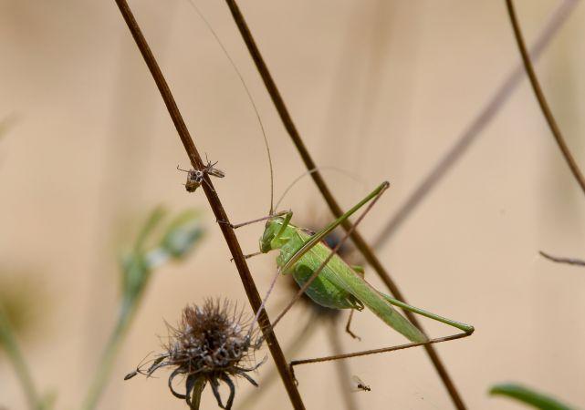 Sickle-bearing Bush-cricket  - Geoffroy Chabot