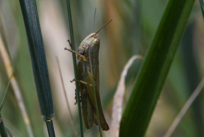 Euchorthippus elegantulus  - Geoffroy Chabot
