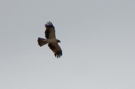 Aigle botté  - Pierre-Alexis Dubois