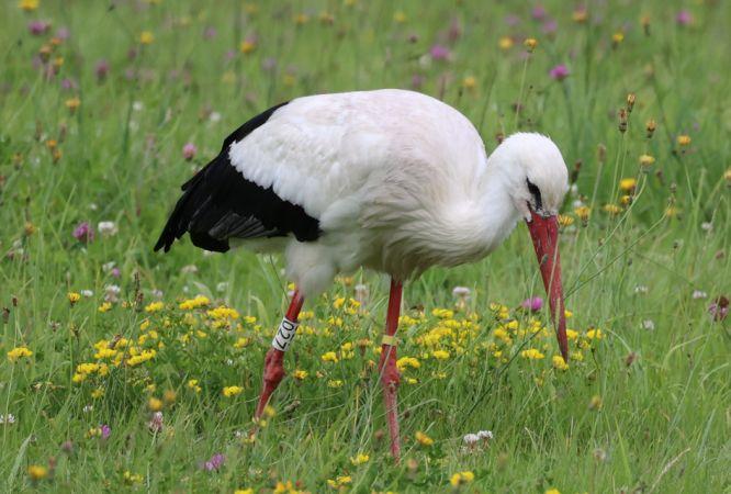 Cigogne blanche  - Patrick Alber