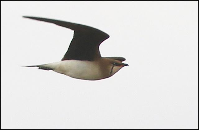 Glaréole à ailes noires  - Hugo Touzé