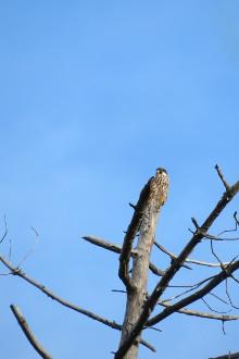 Eleonora's Falcon  - Benjamin Lamarche