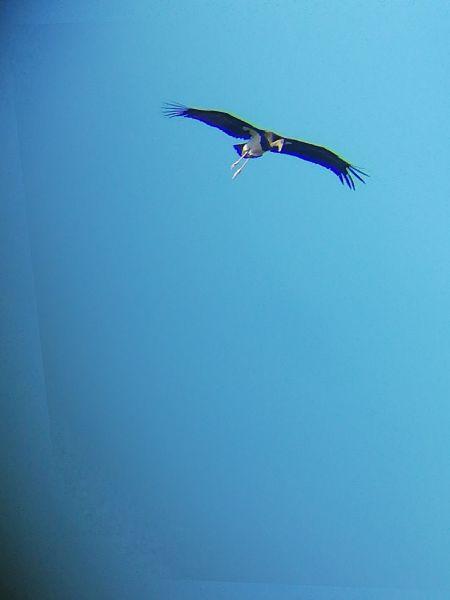 Cigogne noire  - Robin et Julien Souriou