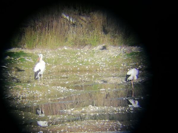 Cigogne blanche  - Robin et Julien Souriou