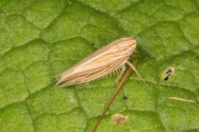 Cicadellidae sp.  - Bernard Queval