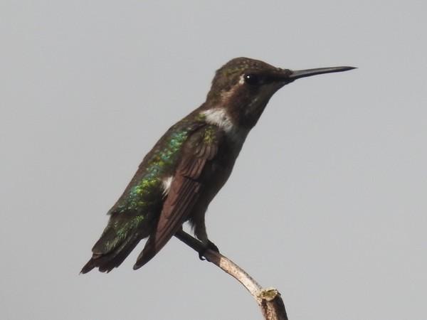 Colibri améthyste  - Grégory Cantaloube