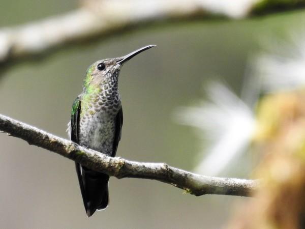 Colibri jacobin  - Grégory Cantaloube