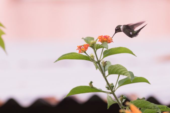 Colibri améthyste  - Vincent Tanqueray