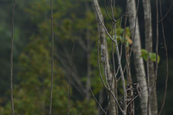 Sporophile gris-de-plomb