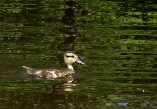 Canard des Bahamas  - Quentin Uriot