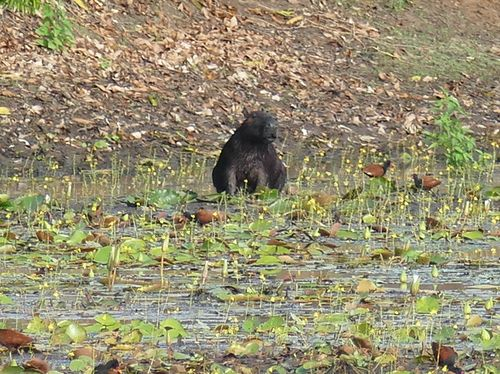 Cabiai, Capybara  - Hervé Breton