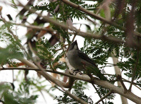 Saltator gris  - Paul Lenrume