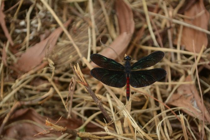 Diastatops obscura