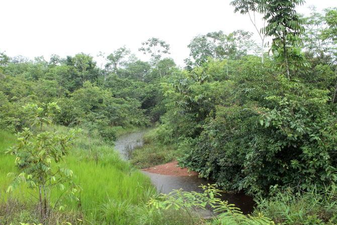Viréon à gorge grise  - Paul Lenrumé (biotope Agence Amazonie)