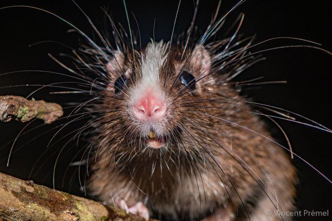 Rat arboricole à front blanc  - Vincent Premel