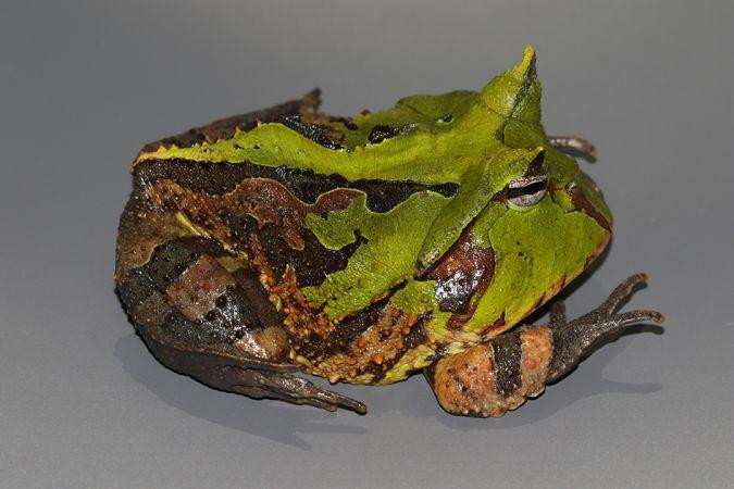 Cératophrys cornu  - Maël Dewynter