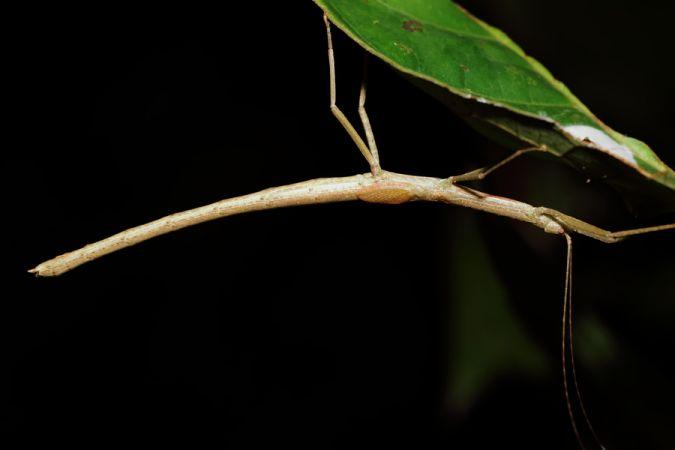 Prexaspes cneius  - Marine Perrier