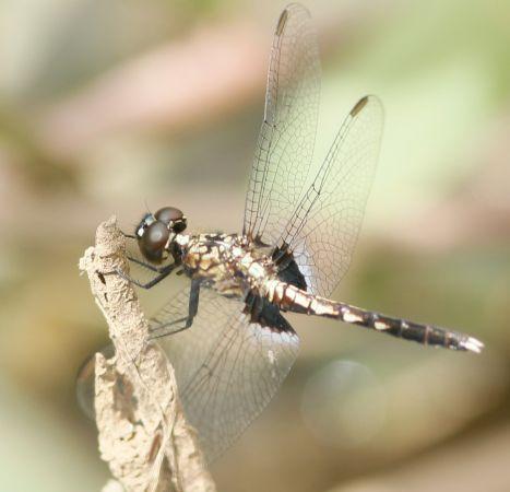 Erythrodiplax basalis  - Anthony Stoquert
