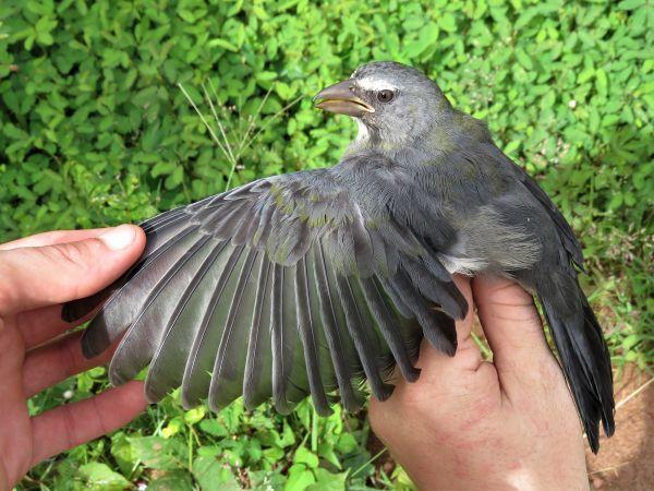 Saltator gris  - Hugo Foxonet