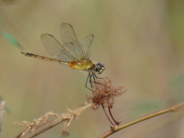 Brachymesia herbida  - Quentin Uriot