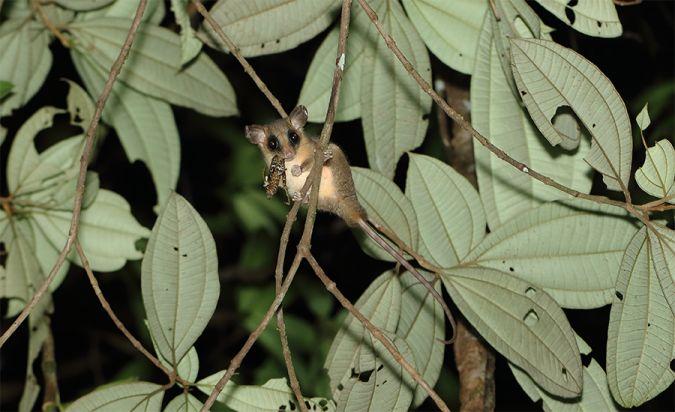 Petit Opossum laineux arboricole  - Marine Perrier