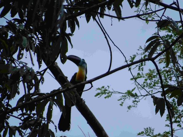 Toucan ariel (vitellin)  - Nathalie Hetzel