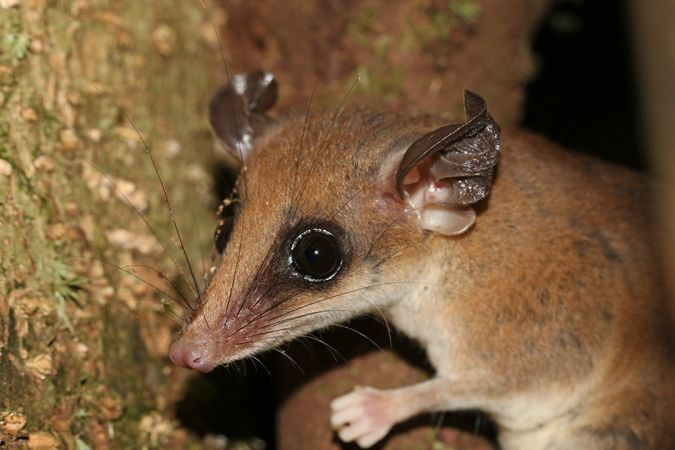 Opossum-souris délicat des Guyanes  - Maël Dewynter